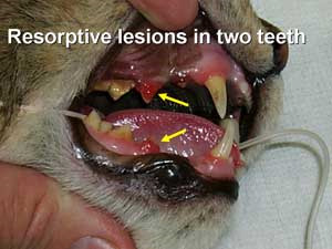 Feline Tooth Resorbtion